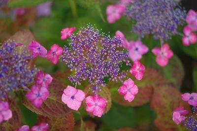 8_617ピンクがく紫陽花