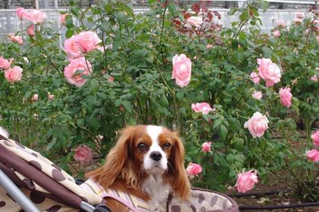 1103_7ピンクのバラと