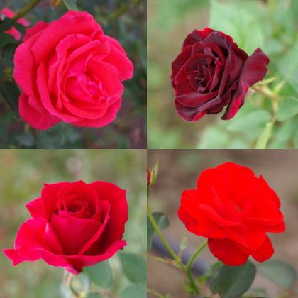 1103_13赤バラ