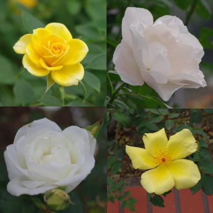 1103_11黄白バラ