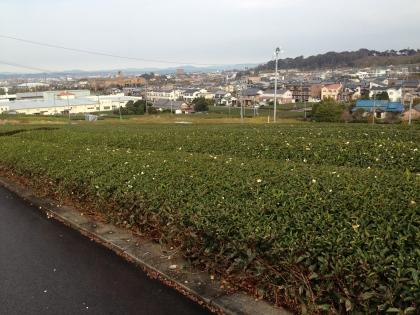 1129_2茶畑