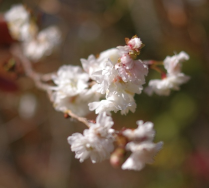 1201_2桜UP