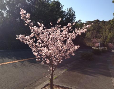 2_311桜