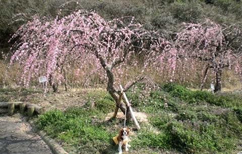 6_308ピンク枝垂れ梅