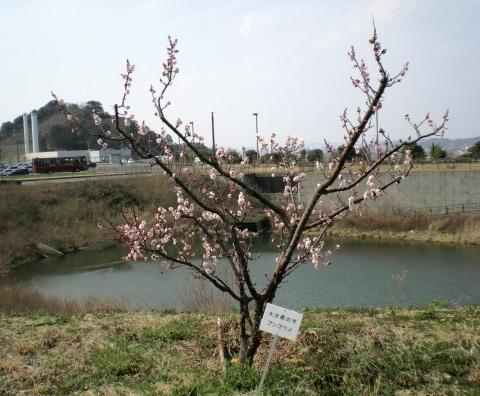 7_308豊後梅