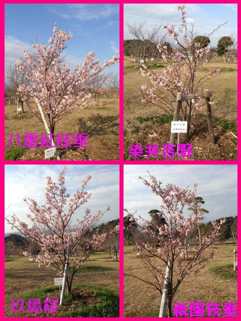 315_4桜1