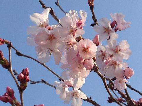 315_6高遠小彼岸桜.