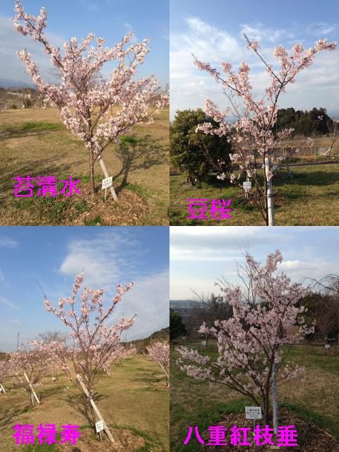 315_8桜2