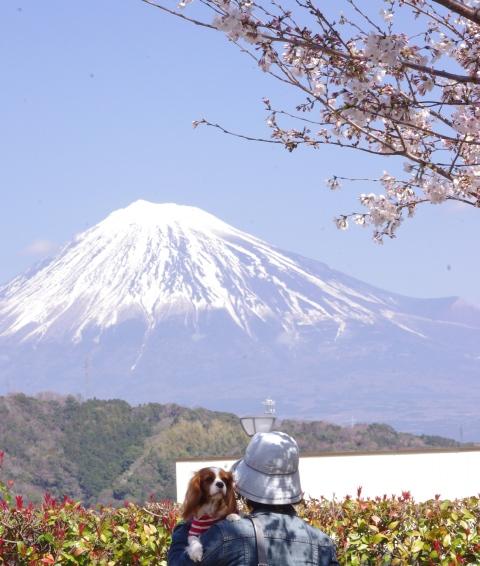 322_3桜と富士とLatte
