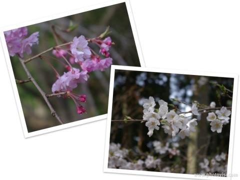 322_11桜コラージュ