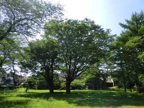 2012_0708_141658-CIMG4795市民体育館前の巨木
