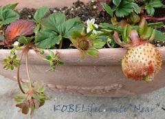 こぼれ種で芽がでるかな