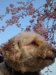 らいふと桜
