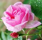 rose-01.jpg