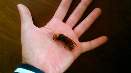 オオスズメバチ女王蜂