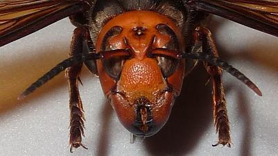 オオスズメバチ女王蜂の顔