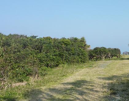 ハマビワ林