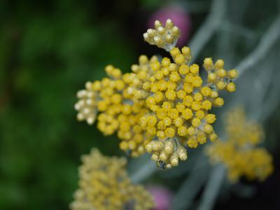 Helichrysum  Korma