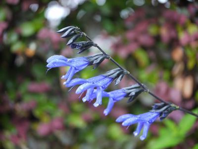 Salvia guaranitica