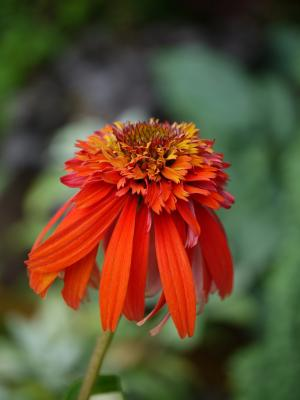 Echinacea purpurea  Hot Papaya