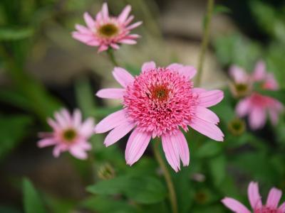 Echinacea purpurea  Pink Double Delignt