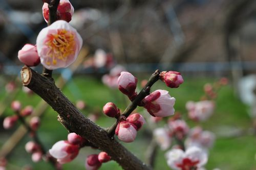 梅は、この咲き始めが魅力です。