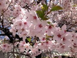 ピンク色の桜です♪