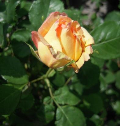 rose_peche02.jpg