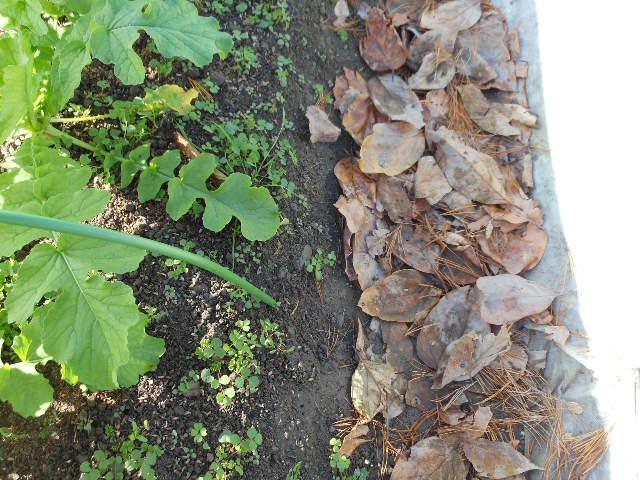ほぼ自然栽培の大根2