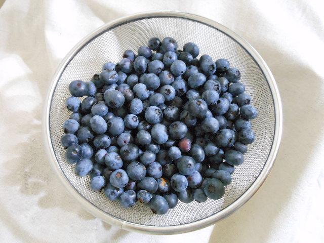 ハイブッシュ系ブルーベリー収穫。