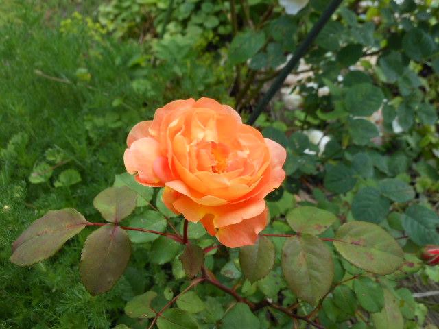 レディ・エマさん開花