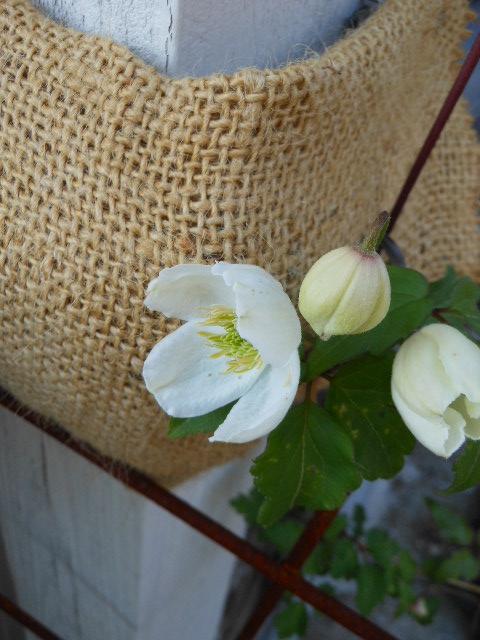 今年も白寿開花。