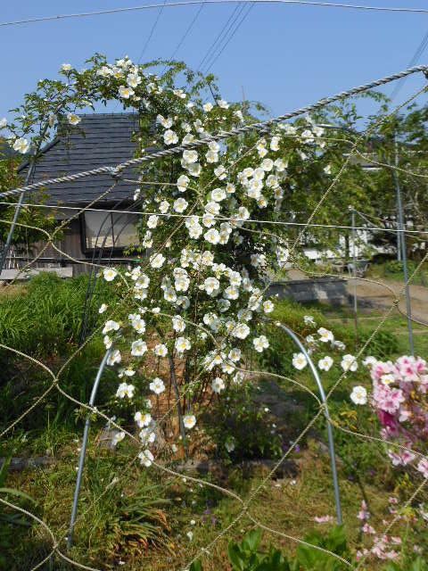 庭仕事のナニワバラ開花1