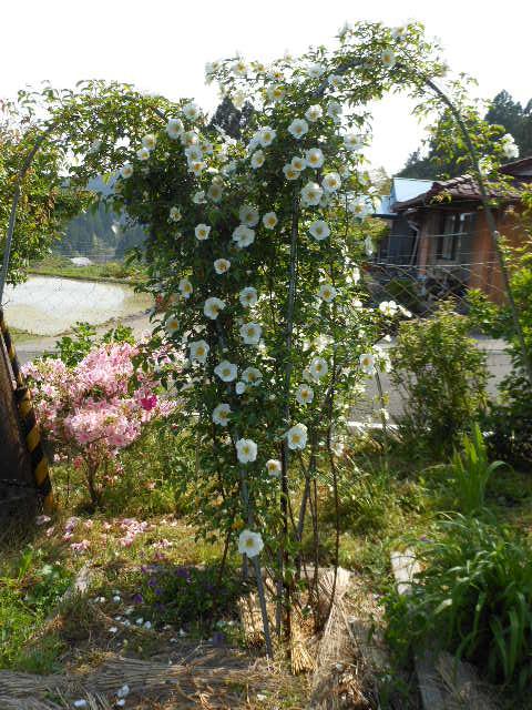 庭仕事のナニワバラ開花2