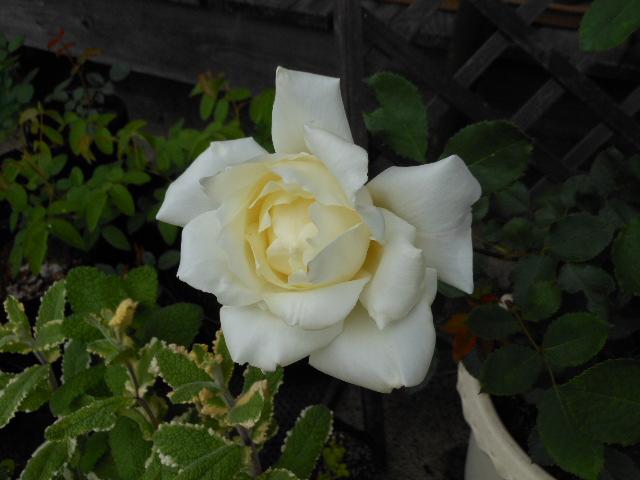 魔性のバラ ネージュ・パルファン2012