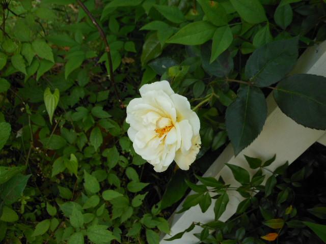 ぺネロープ開花