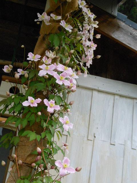 ルーベンス開花1