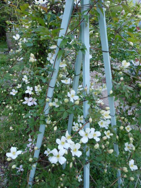 スプーネリィ開花1