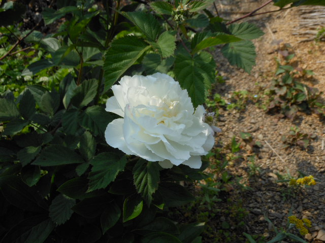 芍薬さん開花