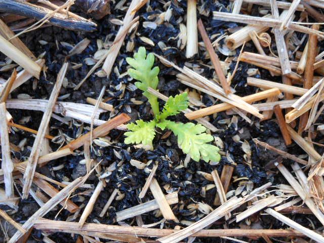 2012春菊定植2