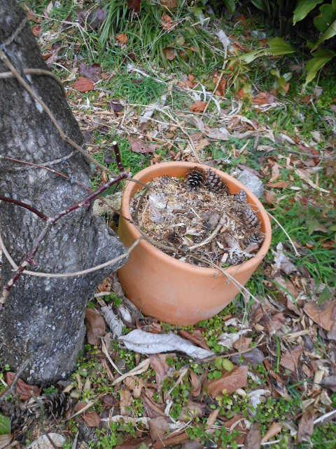 2013年鉢植えスプーネリの誘引1