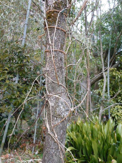 2013年鉢植えスプーネリの誘引2