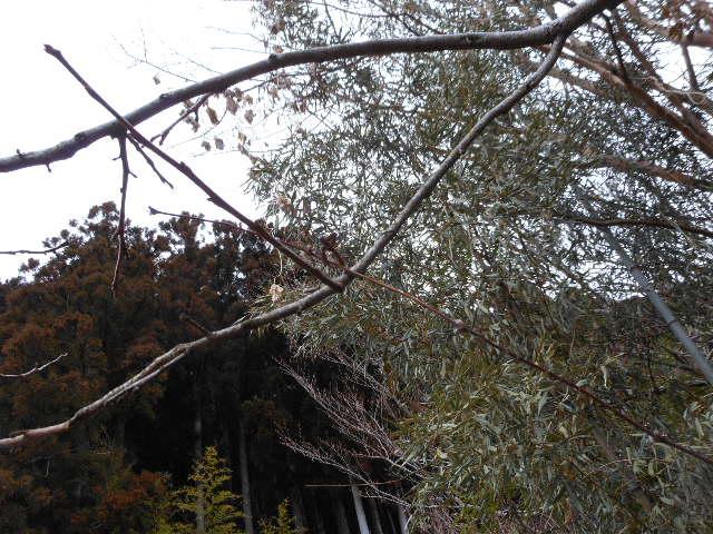 2013年鉢植えスプーネリの誘引3