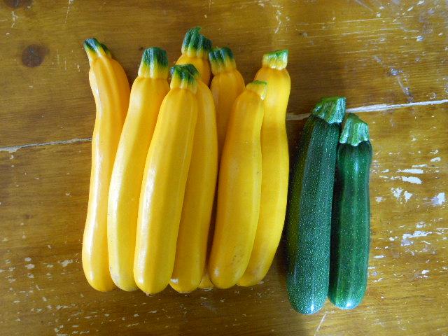 ズッキちゃん、大量収穫。
