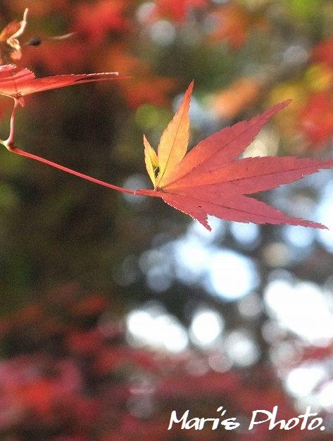 紅葉 (7)