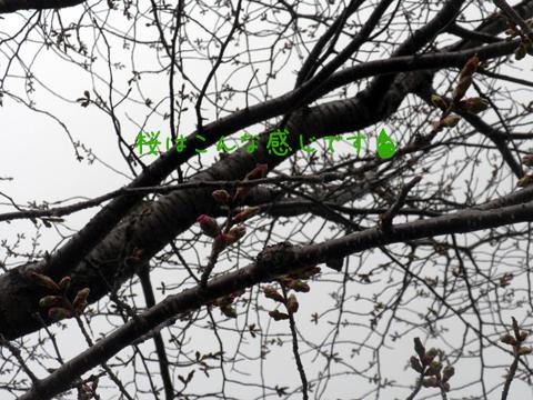 sakura_20120429224604.jpg