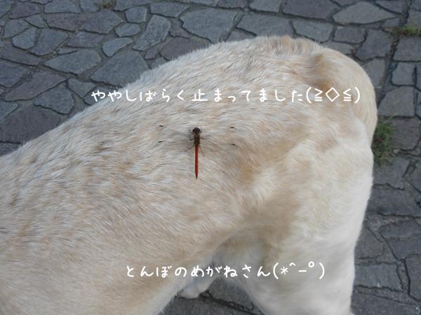 tonbo_20120908212427.jpg