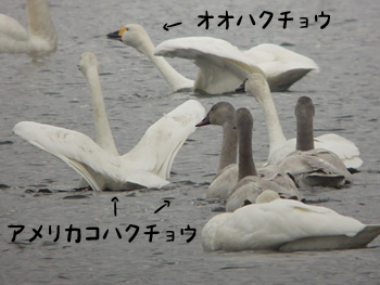 アメリカコハクチョウ4