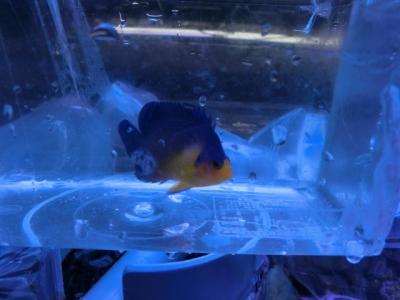海水魚 419