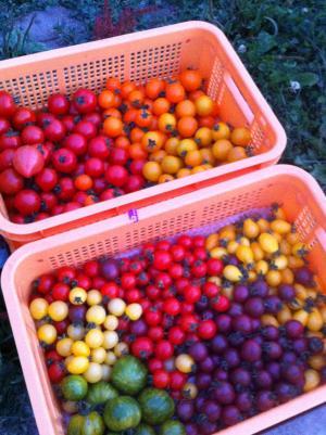 まるほりミニトマト収穫